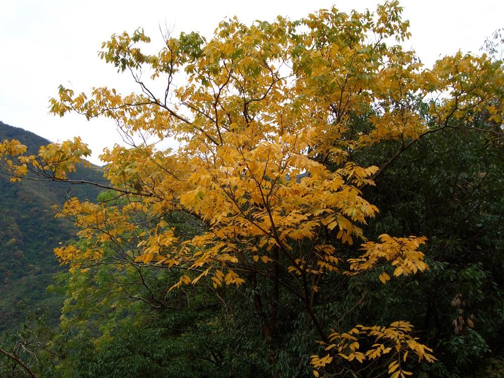 整片山頭一齊染上金黃耀眼的顏色