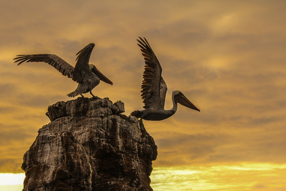 軍艦鳥/馬賽Kyo/旅遊攝影者/加拉巴哥